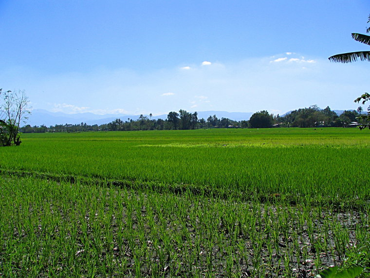 Newly planted rice fields in Luna