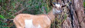 A Nice Goat