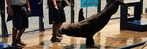 Sea Lion balancing on one flipper!