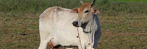 A Nice Cow