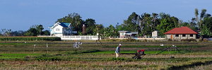 Plowing rice fields